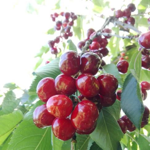 Le nostre ciliegie
